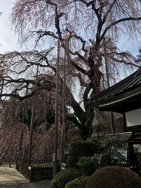 20160331jiunjisakura (4).JPG