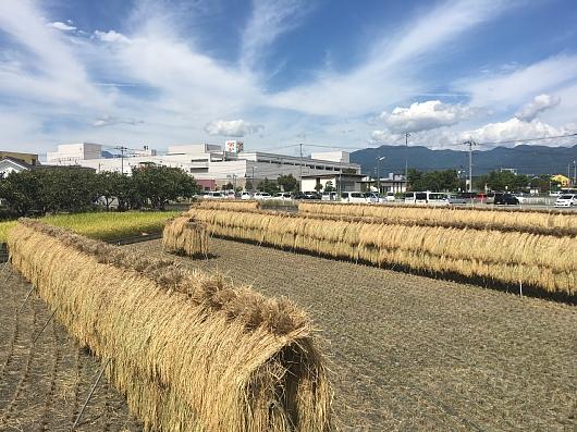 2017inehousaku.JPG