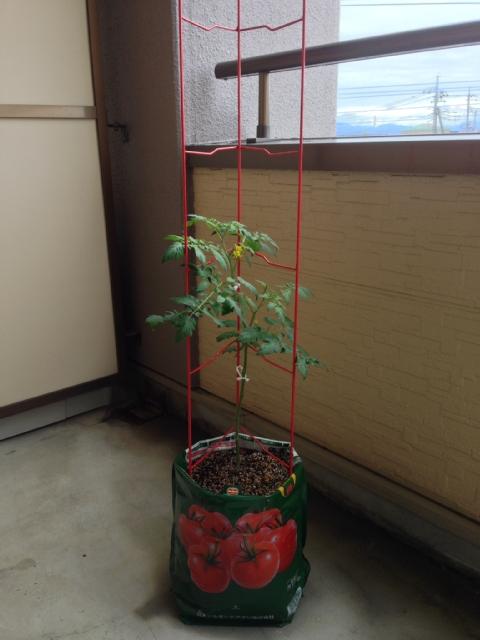 tomato20150609.jpg