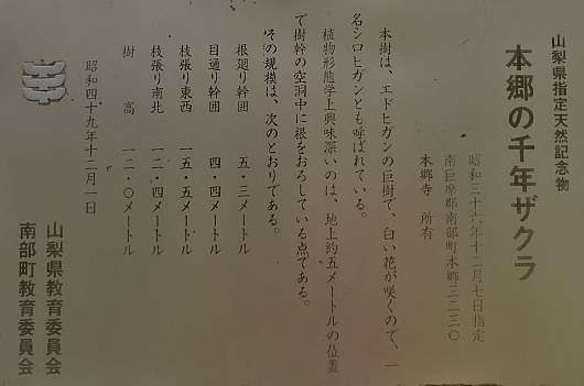 201803sennenzakurayamanashi (2).jpg